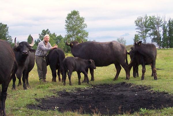 Holger Weichhan mit seinen Wasserbüffeln
