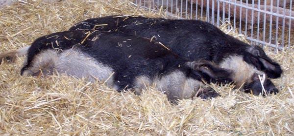 Mangalitza Schweine, Wollschweine