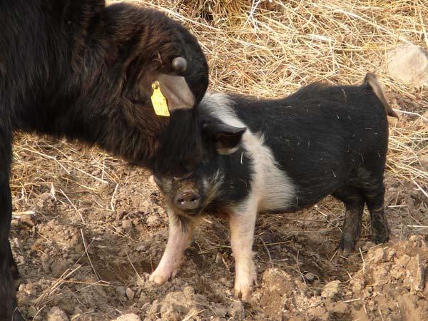 Bueffel mit Sattelschwein
